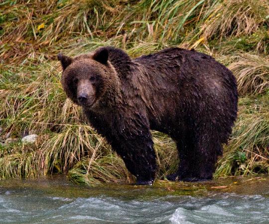 Rainbow Glacier Adventures LLC: Brown Bear