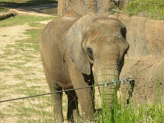 Birmingham, AL: 1 of 3 male elephants