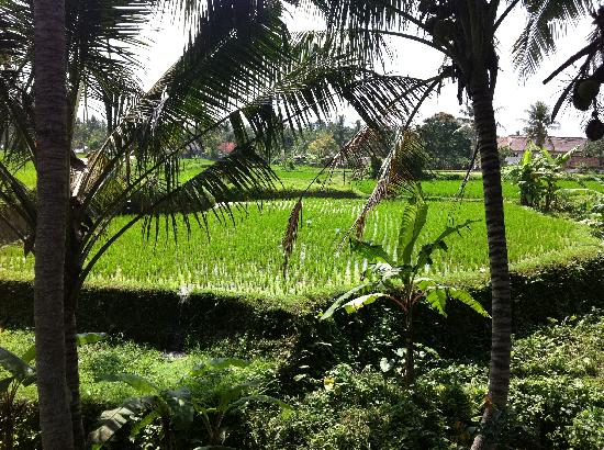 Alam Jiwa: our view of the rice terrace from our patio
