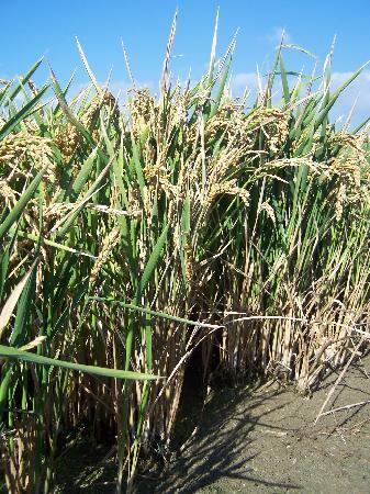 Ruta de las Mejilloneras: riz spécial paella