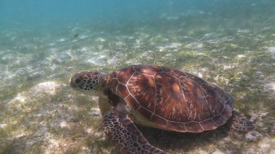 คุรีดุ ไอแลนด์ รีสอร์ท แอนด์ สปา: Swimming with Turtles
