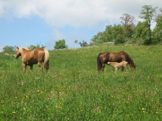Anghiari, Italy: horses