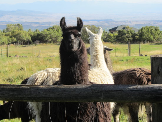 Cedars' Edge Llamas Bed and Breakfast: Friendly llamas