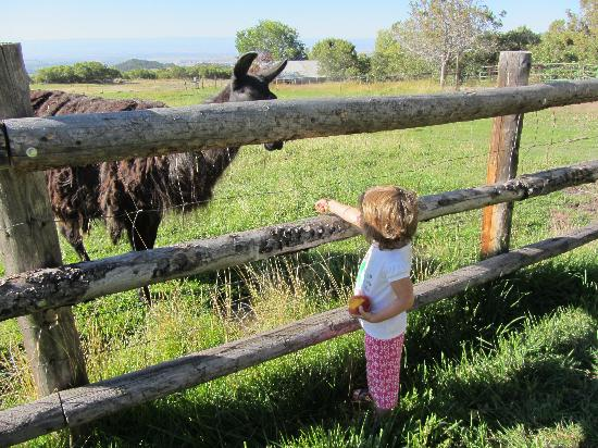 Cedars' Edge Llamas Bed and Breakfast: Pauline feeding llama