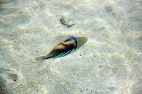 Adaaran Select Hudhuranfushi: Picasso trigger fish
