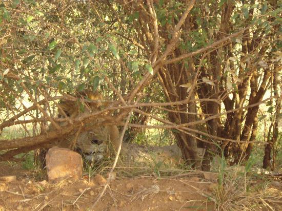 Freddy's 4X4 Jeep Safaris & Day Trips Nairobi: Lion!