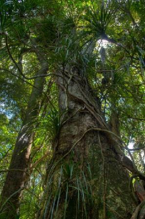 Mount Tutu Eco-Sanctuary: 500 year old tree