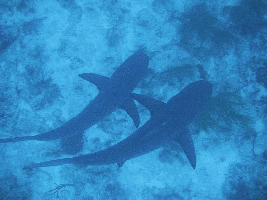 Stuart Coves Dive Bahamas Snorkeling With Sharks