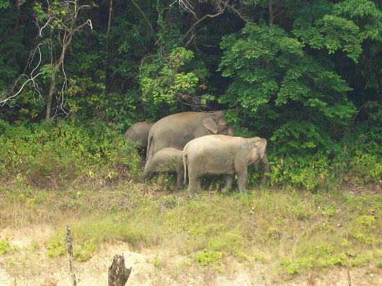 Belum Rainforest Resort: Jungle elephants seen during our trip