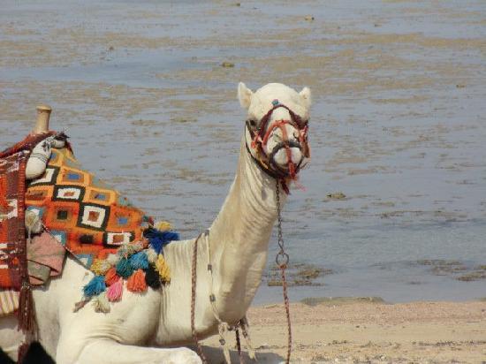 Rixos Sharm El Sheikh: camel