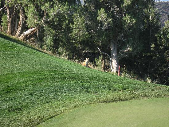 Lakota Canyon Golf Course: A fox by green