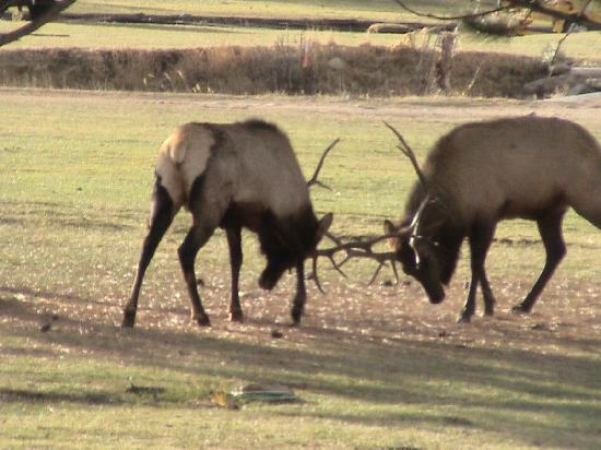Discovery Lodge: Elk near the lodge