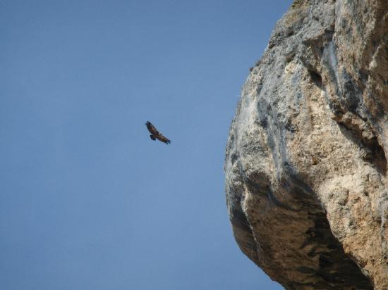 Canon del Rio Lobos Natural Park: Buitre en vuelo por el cañón