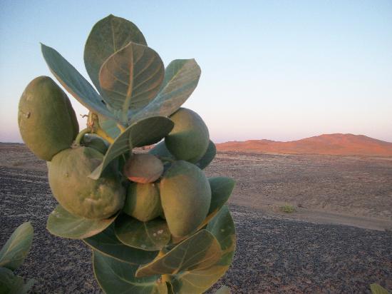 Sahara Exploring Expedition Day Tours: Euphorbe, Calotropis Procera, Tourza