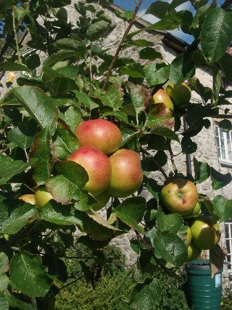 Tom's Barn and Douglas's Barn: Apples we hoped to fall for our crumble !!