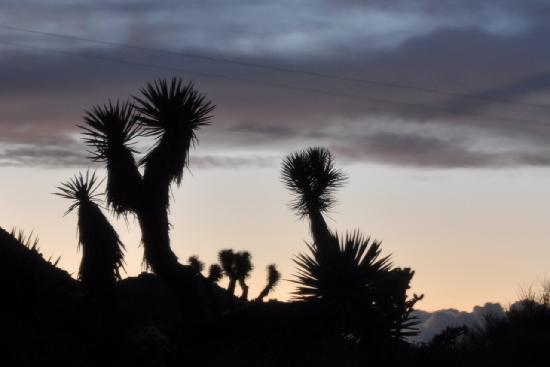 Desert Lily: Joshua Trees
