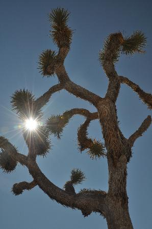 Desert Lily: Joshua Tree (again!)