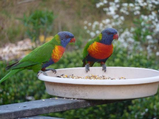 Riviera B&B, Gilston, Breakfast guests, Rainbow Lorikeets