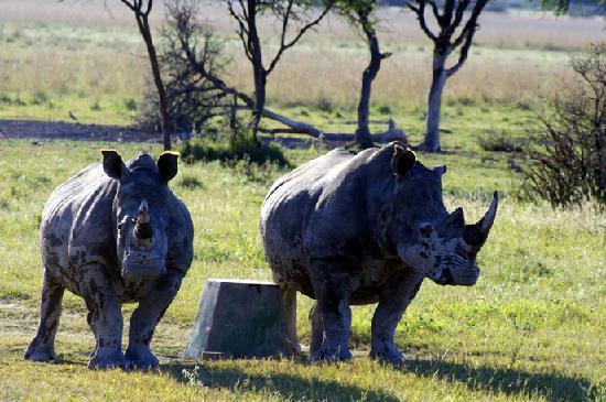Khama Rhino Sanctuary: coppia di rinoceronti