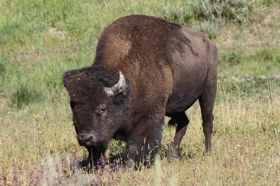 Lamar Valley : Bison