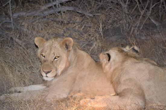 Tremisana Game Lodge: Lions on the Night Drive