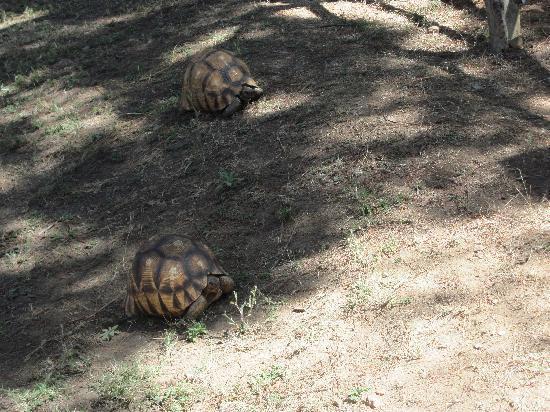 Croc Farm: tortue malgache