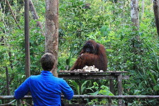 Rimba Orangutan Eco Lodge: Feeding Platform