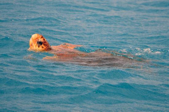 Freedom Whale Watch: Sea turtle