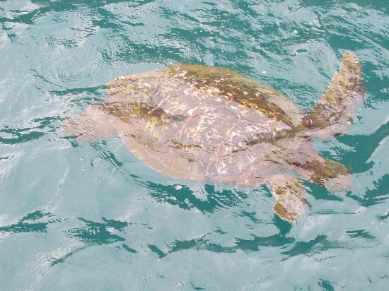 Kauai Sea Tours: Sea turtle!