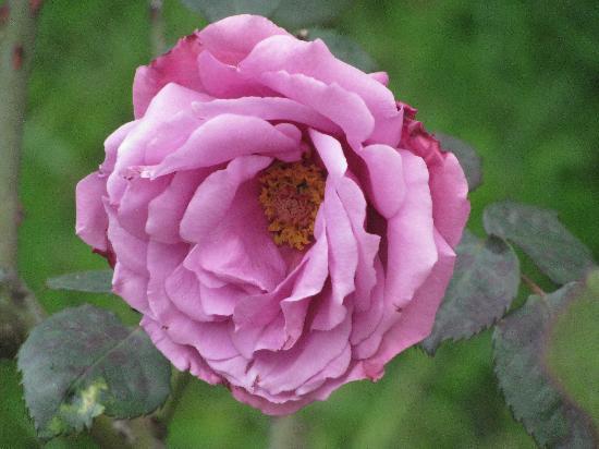 Rose Garden: Look at me