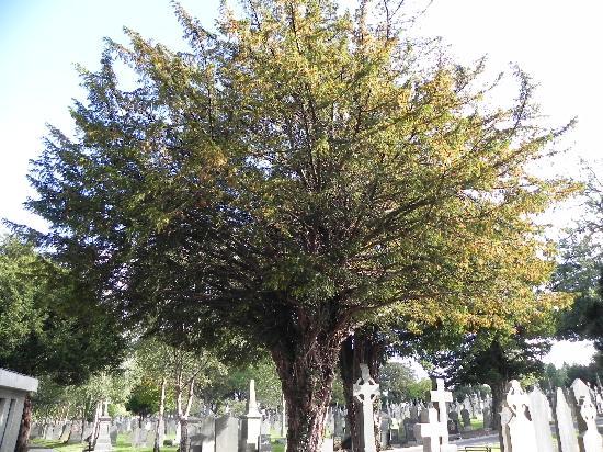Cimetière de Glasnevin : Glasnevin tree