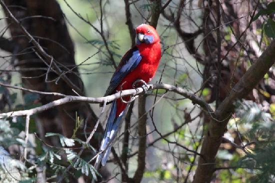 Broulee, ออสเตรเลีย: A regular visitor