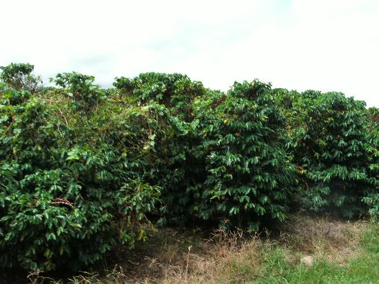 Jaques Coffee Plantation: mature coffee plants