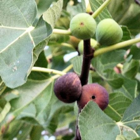 "Locanda ""Il Poderino"": Fresh figs from tree"