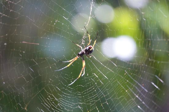 Capella Lodge: One of the friendly spiders in the forest