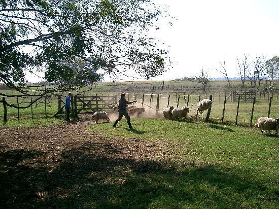 Estancia La Catita: enlazando ovejas