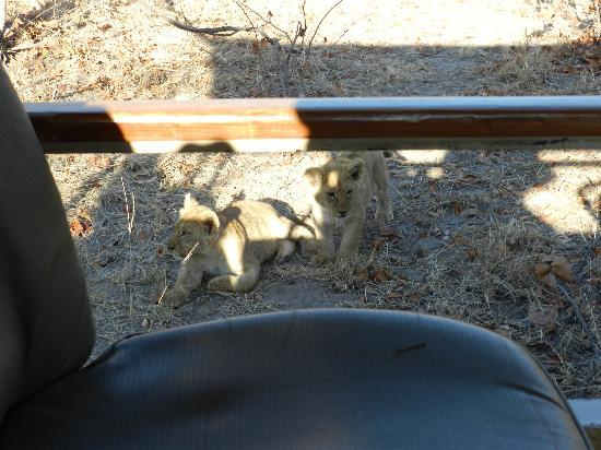 Belmond Savute Elephant Lodge: Curious lion cubs - right next to the jeep!