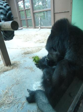 Zoo Knoxville: A very interactive and entertaining Gorilla