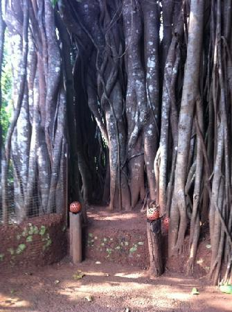 The Banyan Soul : The soul of the Banyan