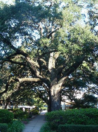 Planters Inn: The live oaks steal the show