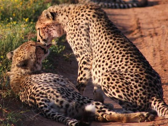 Carnarvon Dale: 2 Cheeta siblings