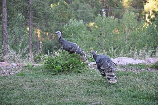 Peregrine Pointe Bed and Breakfast: Wild Turkeys like Peregrine Pointe
