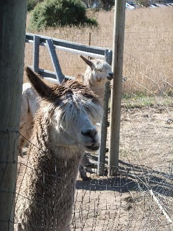 Lingonberry Farm: the alpacas