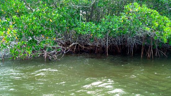 Siesta Key Bike and Kayak : Mangrove trees