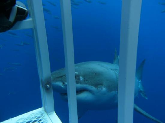 Great White Adventures: Cal close up