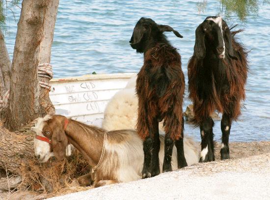 O Xenonas ton Mylon: Goats chilling