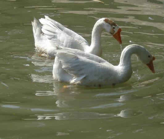 Kolkata Zoo & Zoological Garden: swan