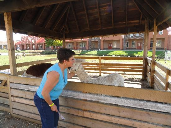 Nelis' Dutch Village: Getting kisses from an alpaca