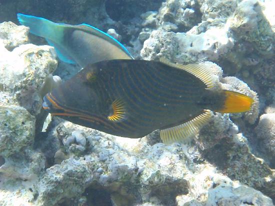 Jaz Fanara Resort & Residence: Snorkelling -Trigger fish