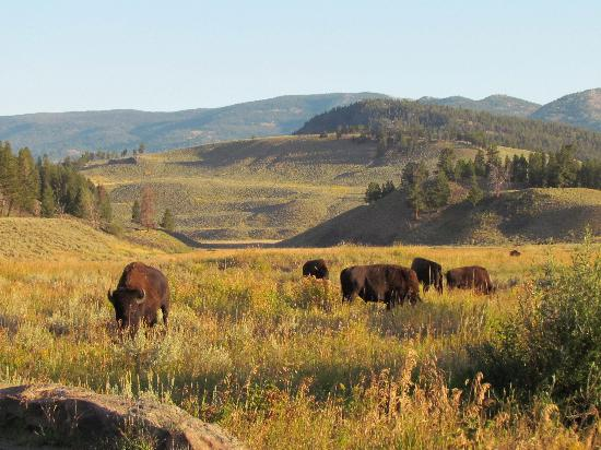 Roosevelt Lodge Cabins: Bison across the road from Roosevelt Lodge.